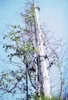木製電柱に絡んでいる木