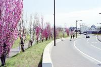 桃の木が咲き並ぶ住宅地の道路