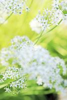 トリテリアの花