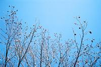 実をつけたフウの木