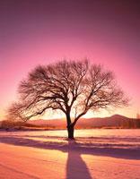 夜明けの野辺山高原の一本木 長野県