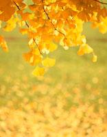 銀杏の黄葉 01164001673| 写真素材・ストックフォト・画像・イラスト素材|アマナイメージズ