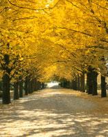 黄葉に染まるイチョウ並木 立川 東京都 01164002584| 写真素材・ストックフォト・画像・イラスト素材|アマナイメージズ