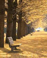 イチョウ並木の黄葉とベンチ  立川市 東京