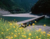 菜の花と四万十川      高知県
