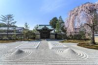 しだれ桜咲く高台寺波心庭と勅使門