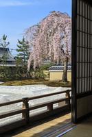 高台寺方丈から見るしだれ桜咲く波心庭