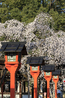 しだれ桜咲く平野神社