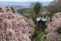 春の善峯寺