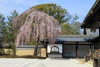 しだれ桜咲く高台寺波心庭
