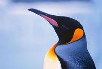 キングペンギンの横顔のアップ 01259012231  写真素材・ストックフォト・画像・イラスト素材 アマナイメージズ
