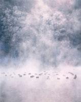 樹氷の木と朝の鴨  富良野市 北海道
