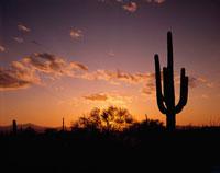 サボラン・フェニックス夕景 リゾナ アメリカ