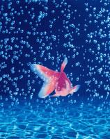 金魚と泡のイメージ(青) CG
