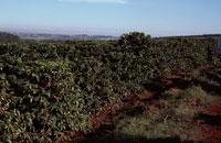 コーヒー農園   ブラジル