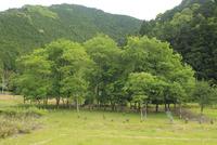 新緑のクヌギ林 01334002976| 写真素材・ストックフォト・画像・イラスト素材|アマナイメージズ