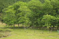 新緑のクヌギ林 01334002977| 写真素材・ストックフォト・画像・イラスト素材|アマナイメージズ