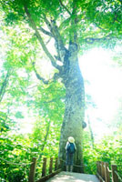 ブナの巨木マザーツリーを見上げる女の子