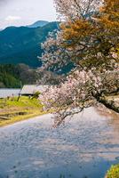 三多気の桜映す棚田