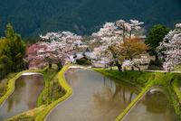 水の張られた棚田と三多気の桜
