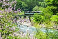 桐の花咲く姫川沿いを走る大糸線