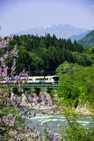 桐の花咲く姫川沿いを走る大糸線 特急あずさ