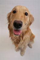 犬(ゴールデンレトリバー)