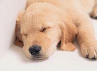 眠るゴールデンレトリバー 01413010389| 写真素材・ストックフォト・画像・イラスト素材|アマナイメージズ