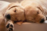 眠る2匹の犬(ゴールデンレトリバー)