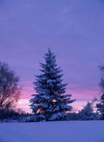 夕焼けのクリスマスツリー ラップランド フィンランド 01421000441| 写真素材・ストックフォト・画像・イラスト素材|アマナイメージズ