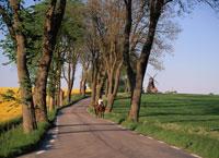 菜の花シーズンの田園の並木道 スコーネ地方 スウェーデン