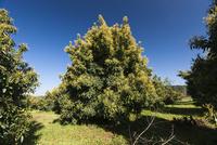 アボガドの木 01431035286| 写真素材・ストックフォト・画像・イラスト素材|アマナイメージズ