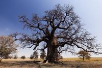 マカディカディ塩湖のバオバブの巨樹