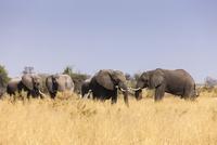 草を食べるアフリカゾウの群れ