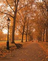 秋のグリーンパークの黄葉と道  ロンドン イギリス