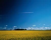飛行機雲と菜の花畑 スウェーデン