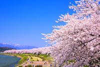 桜咲く桧木内川