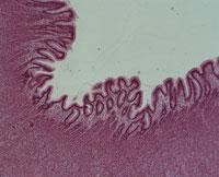 人体の胃壁(紫) 顕微鏡写真