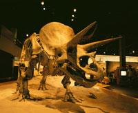 トリケラトプスの化石  カナダ