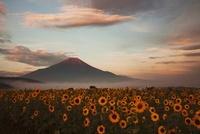 朝日のひまわりと富士山