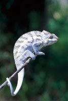Chameleon 01510095854| 写真素材・ストックフォト・画像・イラスト素材|アマナイメージズ