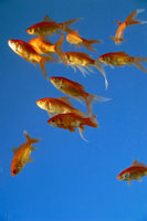 A shoal of goldfish