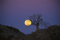 Moonrise over Boab Trees, Near Fitzroy Crossing, Western Australia, Australia