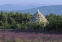 Lavender field and Borie stone hut, Luberon Mountains, Provence, France, Europe