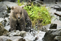 USA, Alaska, brown bear cub watching a fish, Wolverine Cove, Redoubt Bay