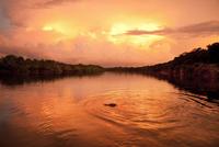 BRAZIL, Agua Boa, Agua Boa River, a crocodile swimming at sunset deep in the Amazon jungle
