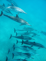 USA, Hawaii, Lana'i, a pod of spinner dolphin swimming at Manele Bay