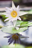 VIETNAM, Hue, a lotus flower in bloom at a Pagoda and monastery