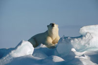 fn84641 polar bear baffin island.canada