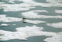 jb66943 polar bear canada dup